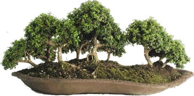 bonsai-bosque-microphila