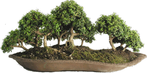 bonsai-bosque-microphila