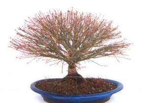 Bonsái 34 años Acer palmatum kiyohime