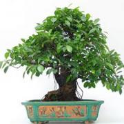 Bonsái 34 años Ficus retusa