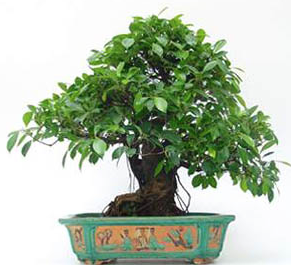 Bonsai 34 años ficus retusa