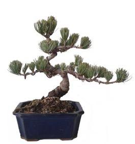 Bonsái 40 años Pinus pentaphylla