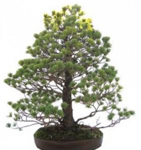 Bonsái 45 años Pinus pentaphylla