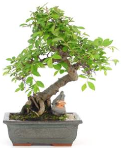 Bonsai 22 años Zelkova parvifolia