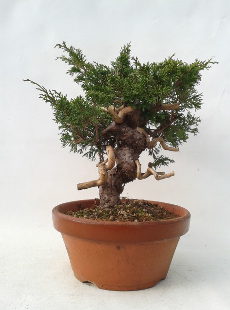 Bonsai 24 anys Juniperus chinensis