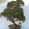 Bonsai 26 años Juniperus chinensis