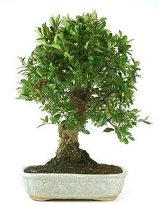 Bonsai 26 años Juniperus chinensis.