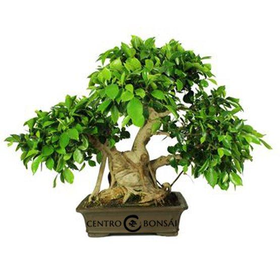 Bonsái 29 años Ficus Retusa