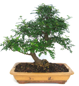 Bonsai 32 anys Zanthoxylum piperitum