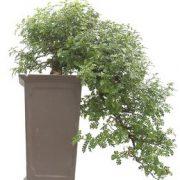 Bonsai-34-años-Zanthoxylum-piperitum