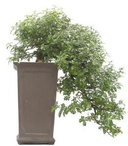 Bonsai 34 años Zanthoxylum piperitum