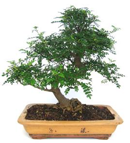 Bonsai 34 años Zanthoxylum piperitum