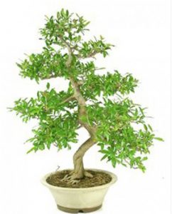 Bonsai-50-años-Punica-Granatum