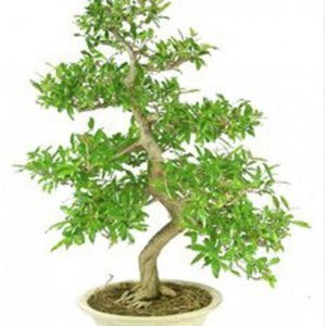 Bonsai 50 años Punica Granatum