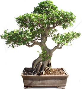 Bonsai 52 años ficus india