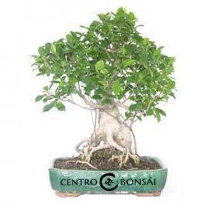 Bonsái 25 años Ficus Retusa