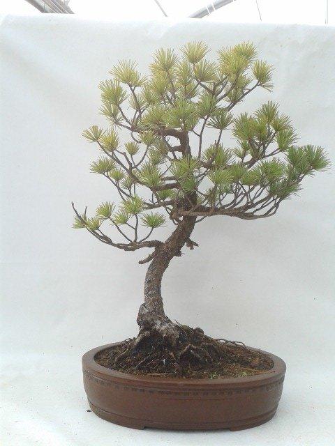 Bonsái 19 años Pinus pentaphylla