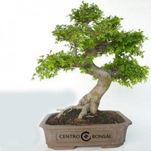 Bonsái 19 años Zelkova parvifolia