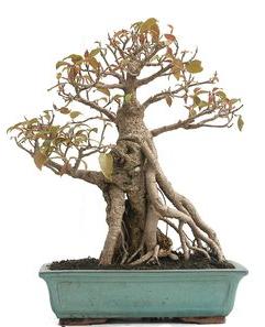 Bonsái 20 Años Ficus Retusa