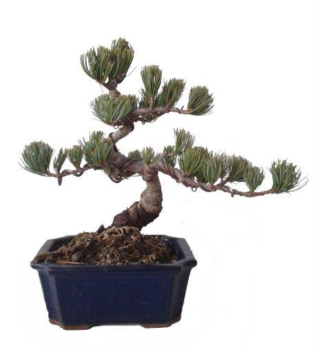 Bonsái 20 años Pinus pentaphylla