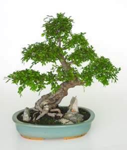 Bonsái 20 años Zelkova parvifolia