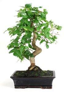 bonsai 17 años Eugenia sp.