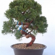 Bonsai 18 años Juniperus chinensis