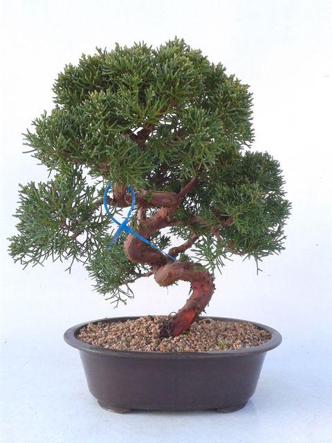 Bonsai 18 años Juniperus chinensis