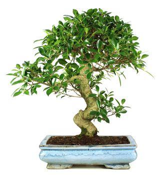 Bonsai 19 años Ficus retusa