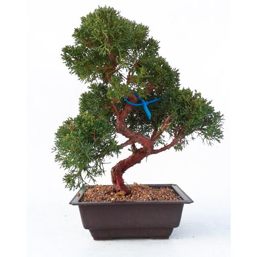 Bonsai-19-anos-Juniperus-chinensis