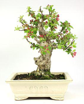 Bonsai 35 años Malus sp. ZP-E