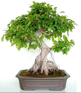 Bonsai 21 años Ficus retusa