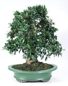 Bonsai 23 anys Olea europaea sylvestris