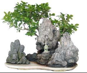 Bonsai 24 anys Ficus india