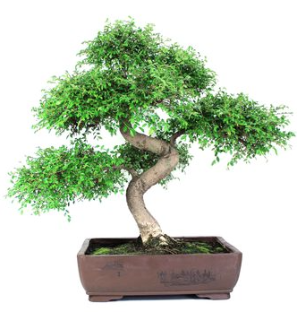 Bonsai 24 anys Zelkova parvifolia.