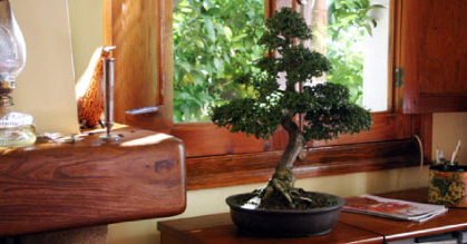 Bonsai barcelona archivos centrobonsai comprar bons is for Bonsais de interior