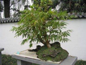 Bonsai exterior Comprar bonsai online