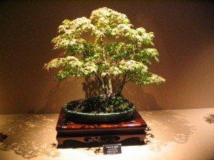 Bonsai interior Comprar bonsai online