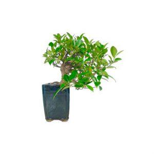 Bonsái 10 años Ficus Retusa