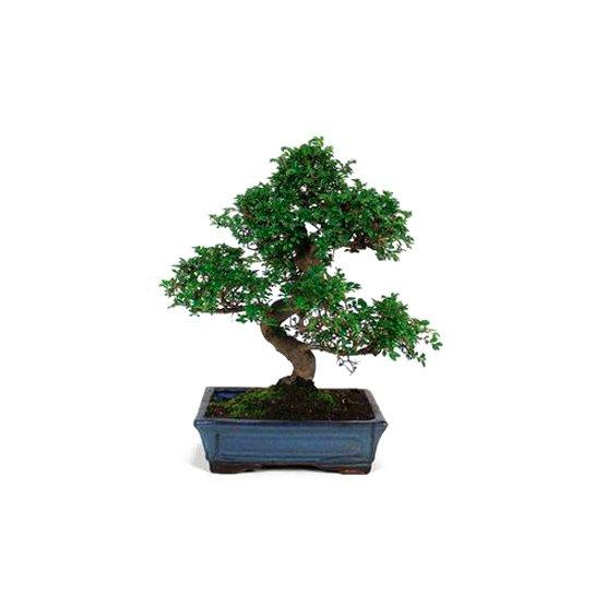Bonsái 10 años Zelkova Parvifolia
