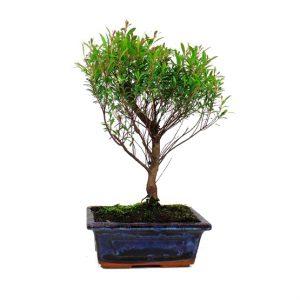 Bonsái 5 años Syzigium buxifolium