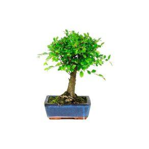 Bonsái 5 años Zelkova Parvifolia