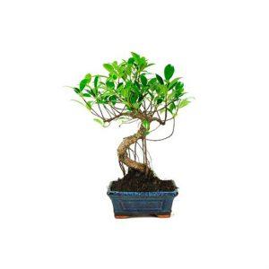 Bonsái 6 años Ficus Retusa