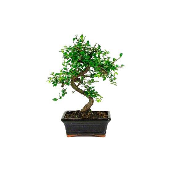 Bonsái 6 años Zelkova Parvifolia