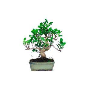 Bonsái 8 años Ficus Retusa