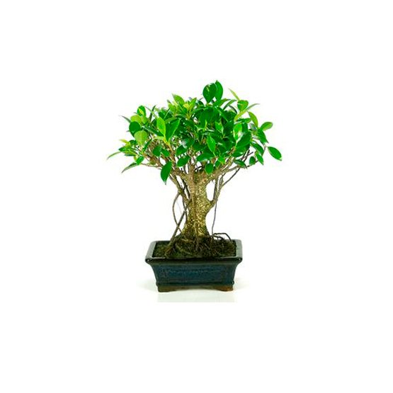 Bonsái 5 Años Ficus Retusa Centrobonsai Online