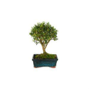 Bonsai 5 años Ilex Microphylla