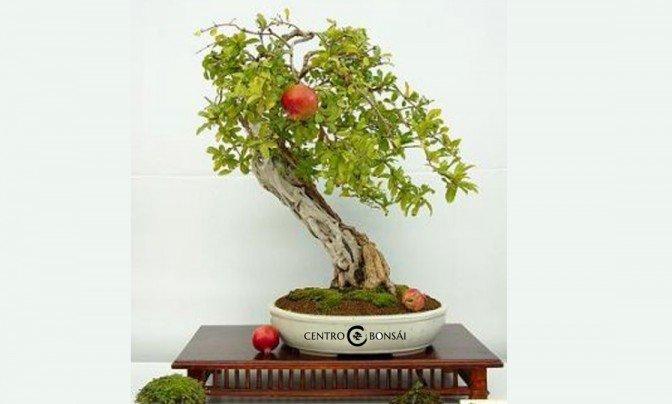 bonsai granada