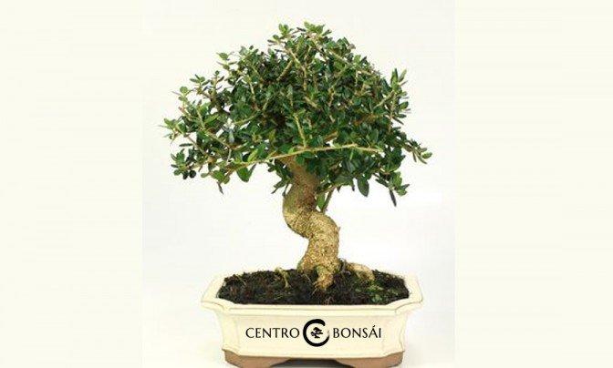 Comprar bonsai baratos archivos centrobonsai comprar for Comprare bonsai online