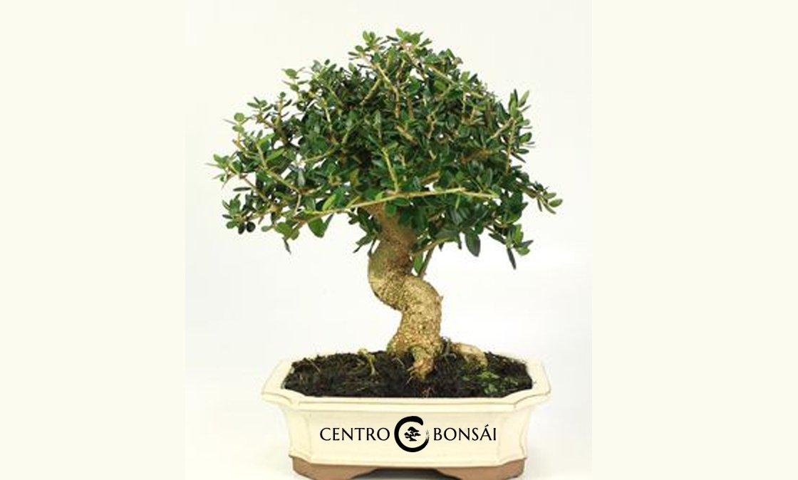 Olivo-Bonsai